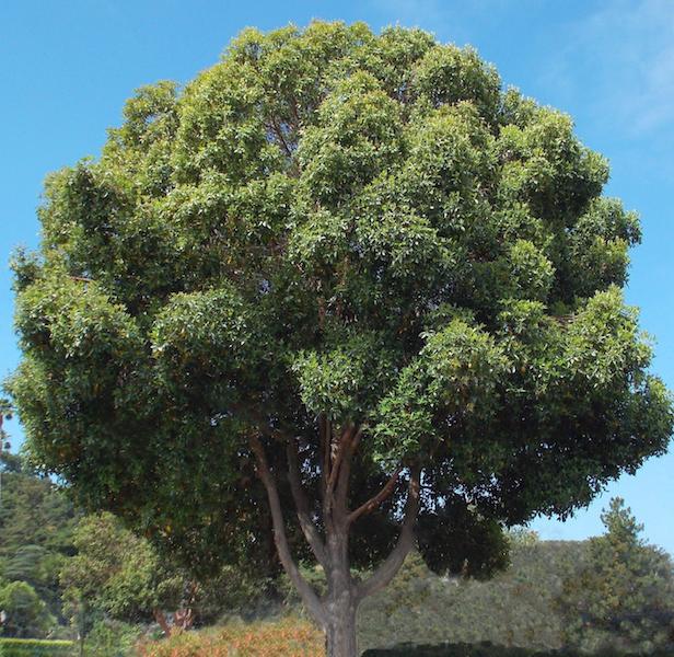July Tree of the Month: Brisbane Box | Edhat