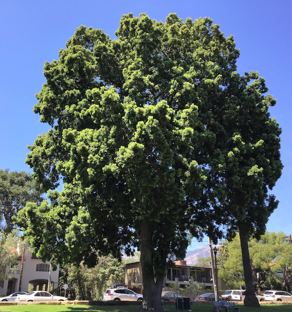 Tree Of The Month Fern Pine Edhat