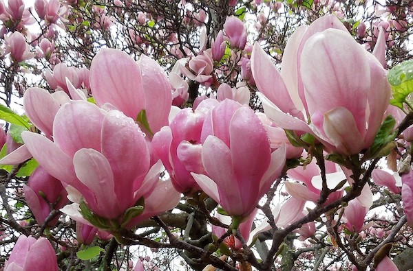Tree Of The Month Saucer Magnolia Edhat
