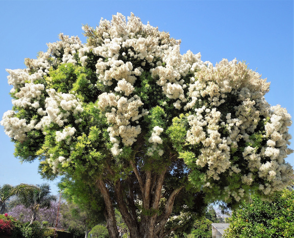July Tree Of The Month Snow In Summer Edhat
