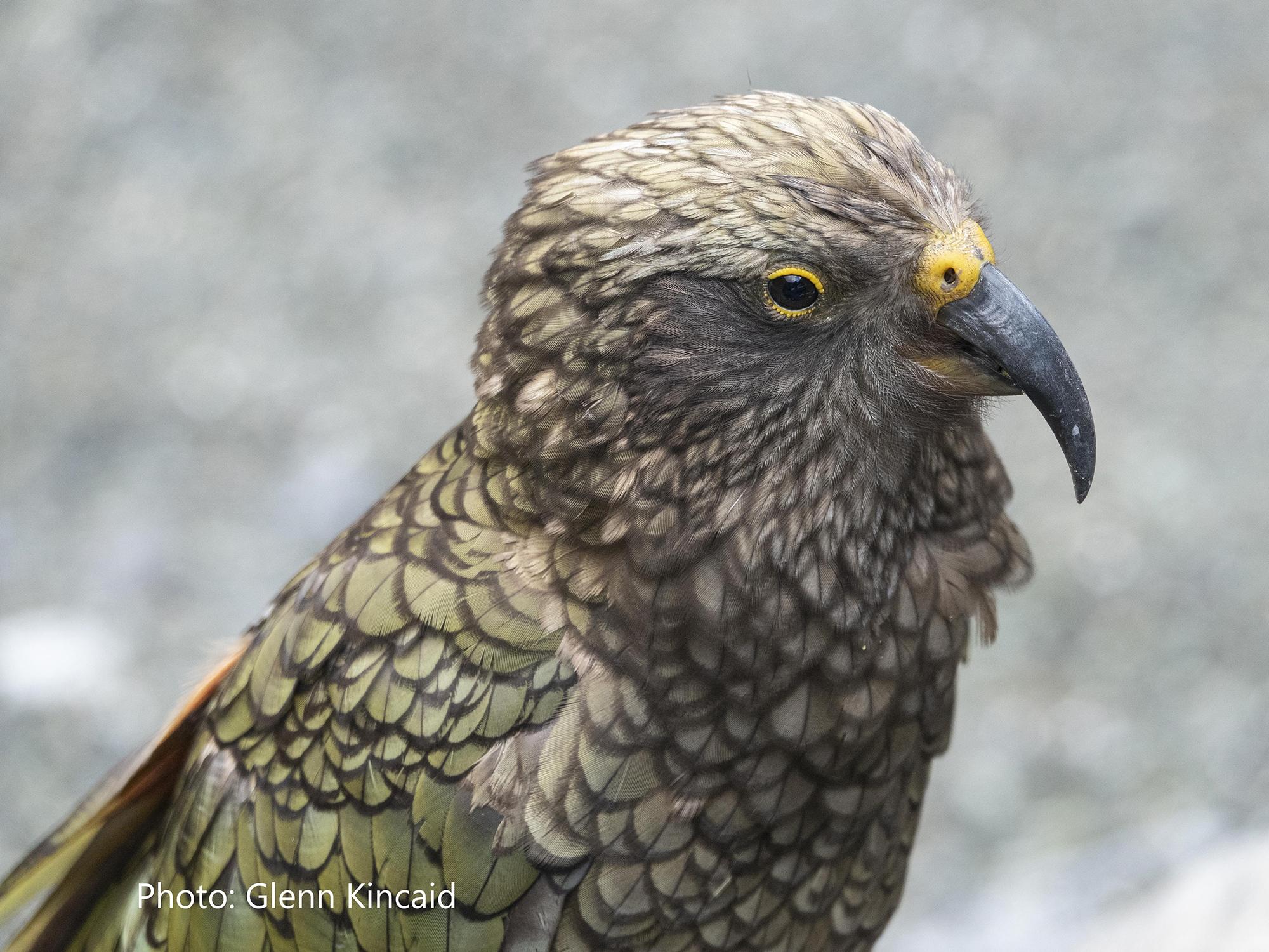 SB Audubon Monthly Evening Program: New Zealand Bird Conservation title=