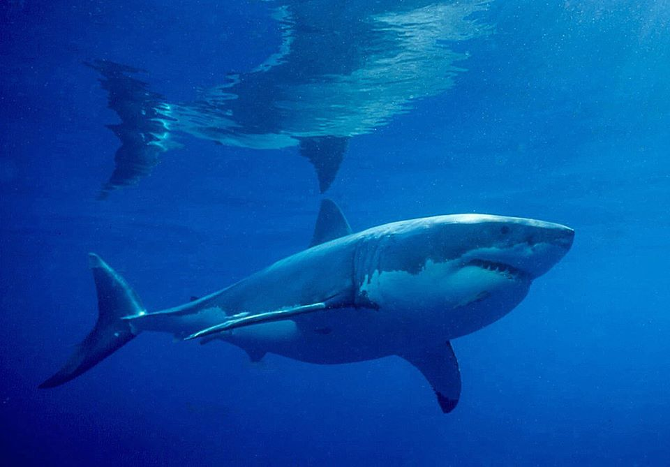 The Truth about White Sharks and Shark Attacks title=