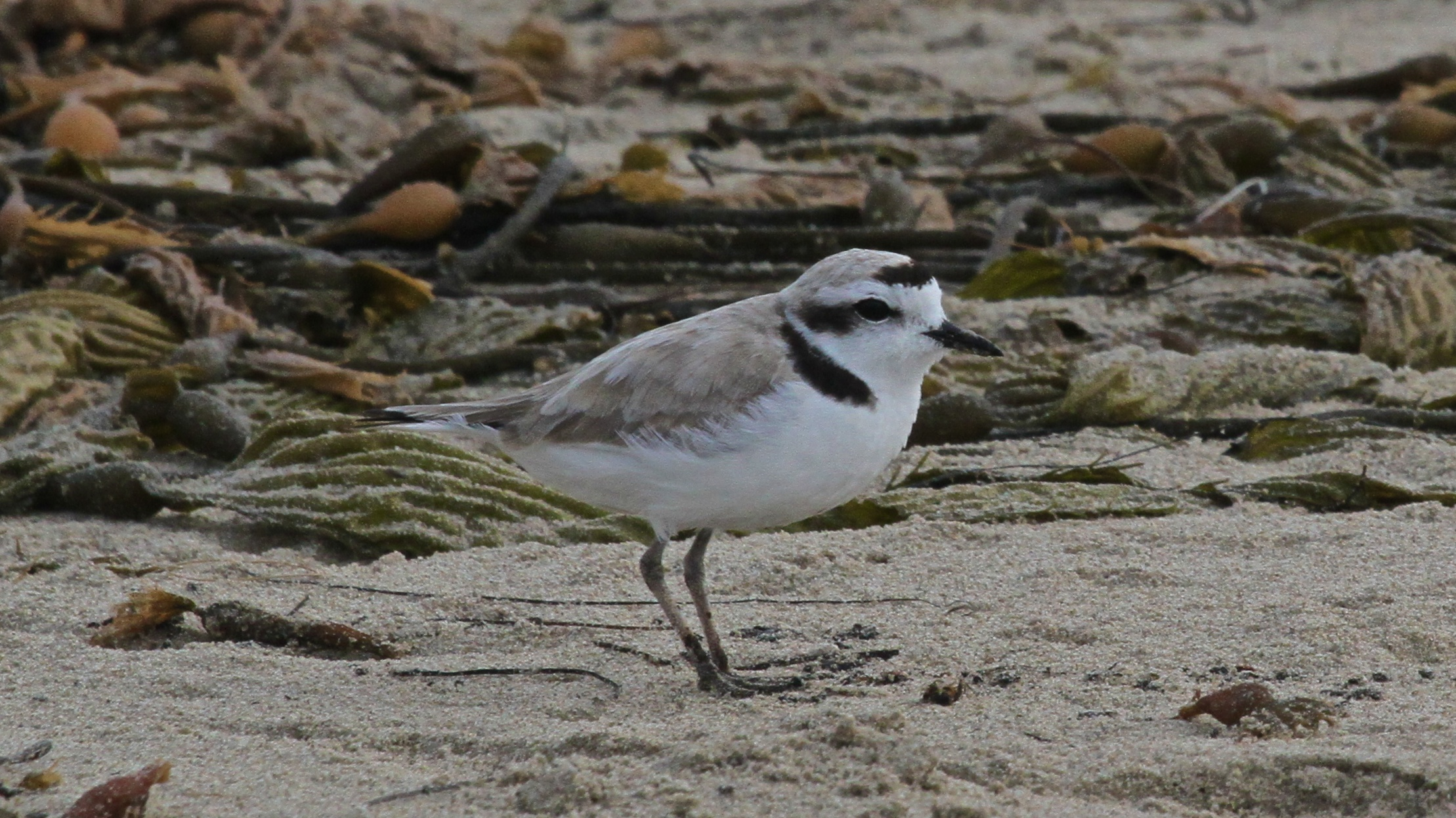 Shorebird Conservation:  Snowy Plover Docent Training title=
