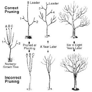 Hands-On Fruit Trees Pruning Clinic title=