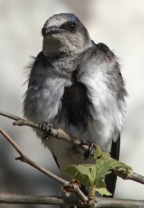 SB Audubon Evening Monthly Program: SB County Breeding Bird Study