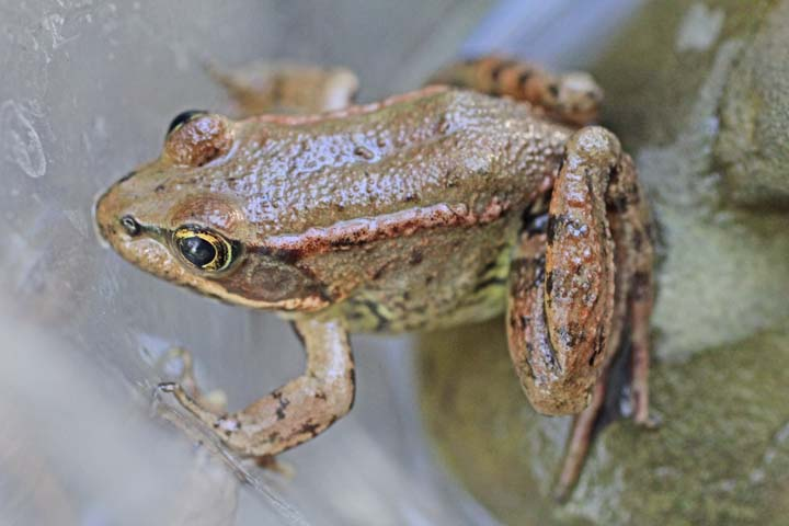 Arroyo Hondo Preserve's Amazing Amphibians with Dr. Sam Sweet title=