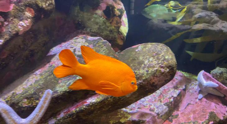 a swimming Garibaldi, a large, bright orange fish title=