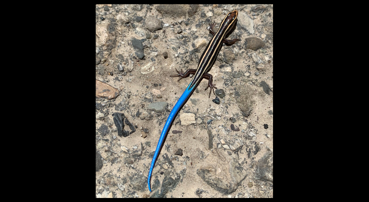 Blue Tailed Skink title=