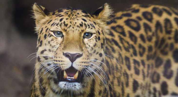 Santa Barbara Zoo Welcomes New Amur Leopard
