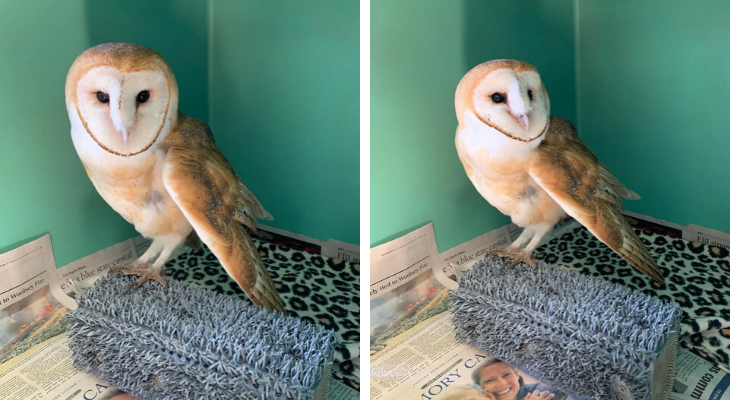 Injured Barn Owl Expected to Recover