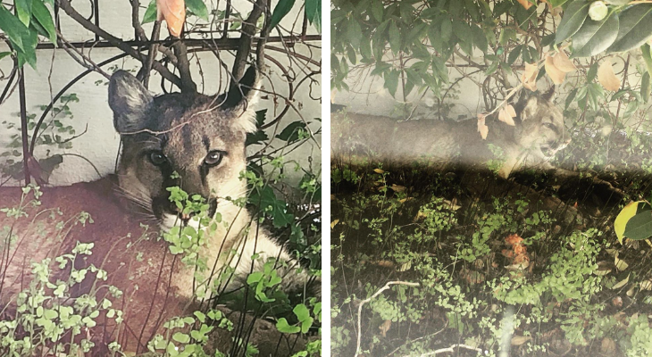 Mountain Lion Captured in Orcutt Backyard title=