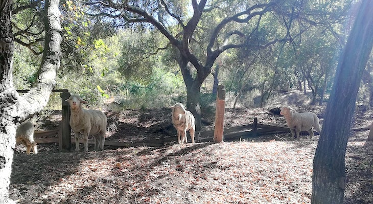 Sheep Grazing Vegetation Management Project at Skofield Park