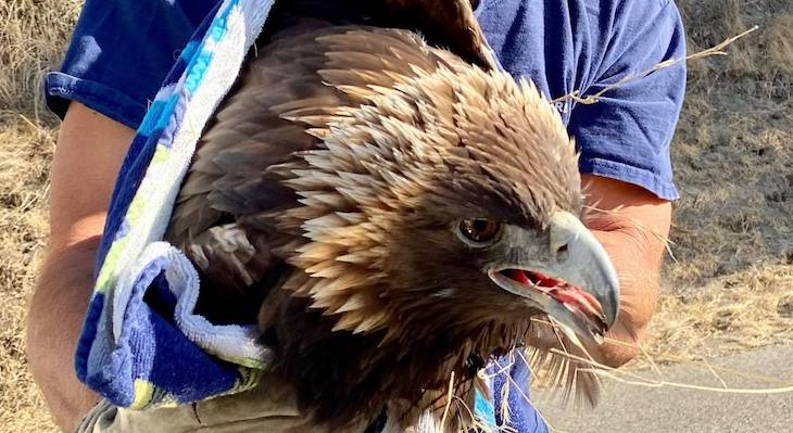 Rescued Eagle Succumbs to Injuries  title=