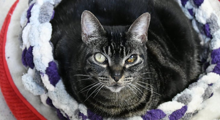 Cat of the Week: Munchkin title=