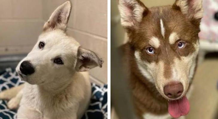 Emergency Fosters Needed for Husky Puppies