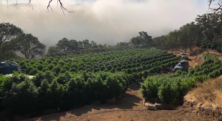 Cannabis Compliance Team Serves Warrant in Tepusquet Area title=
