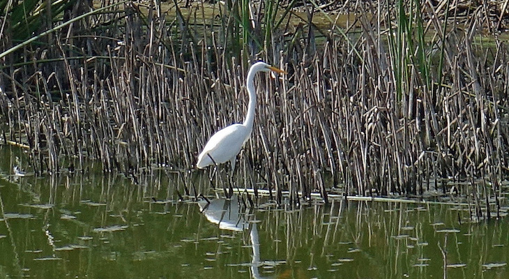 Egret Convention and More at Lake Los Carneros title=