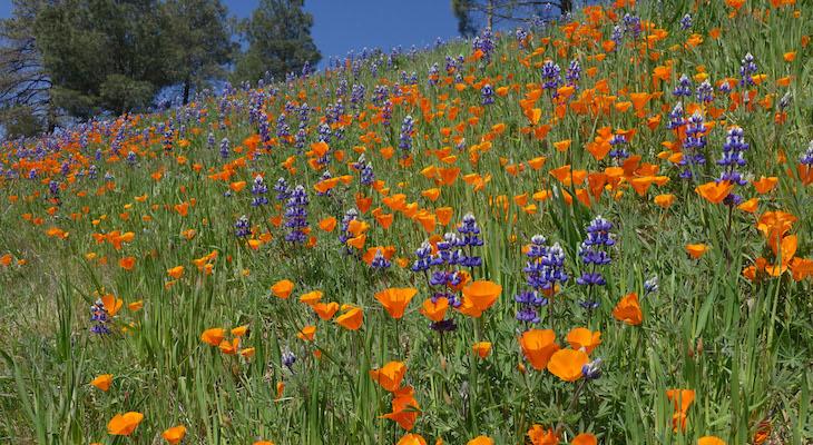 Figueroa Mountain Wildflower Bloom title=