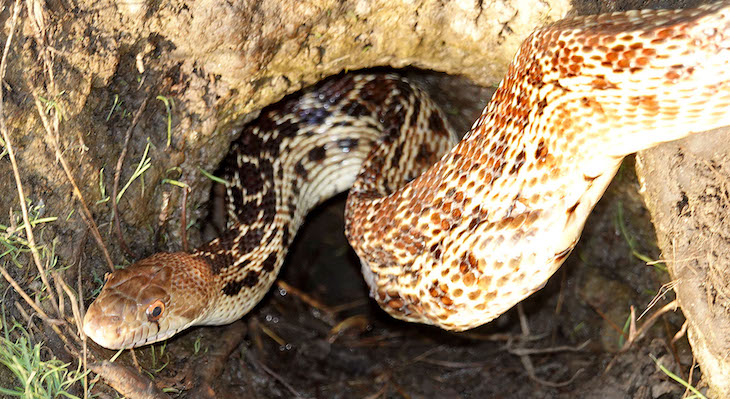 Gopher Snake Near Sandpiper Golf Course title=