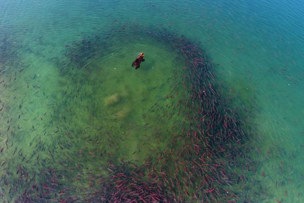 Sockeye Salmon. Red Fish  https://naturetrackfilmfestival.org/tickets/