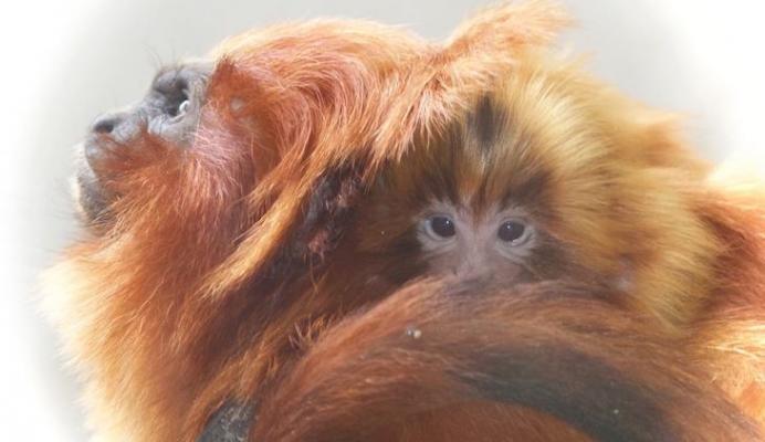 Lion Tamarin Monkeys title=