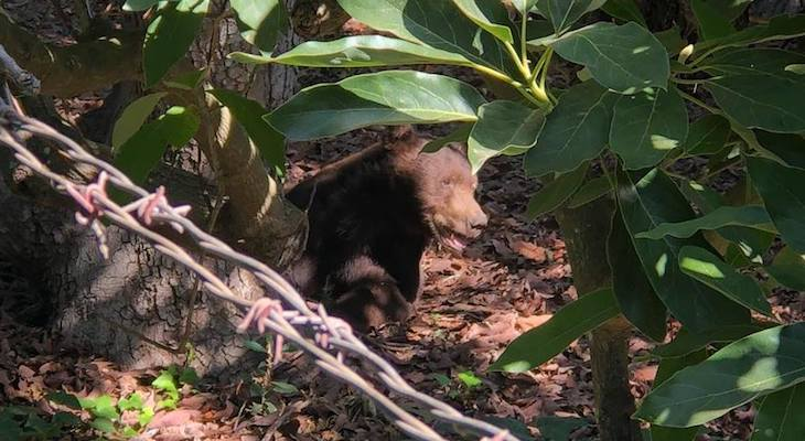 Bear Seen Touring Carpinteria Areas title=