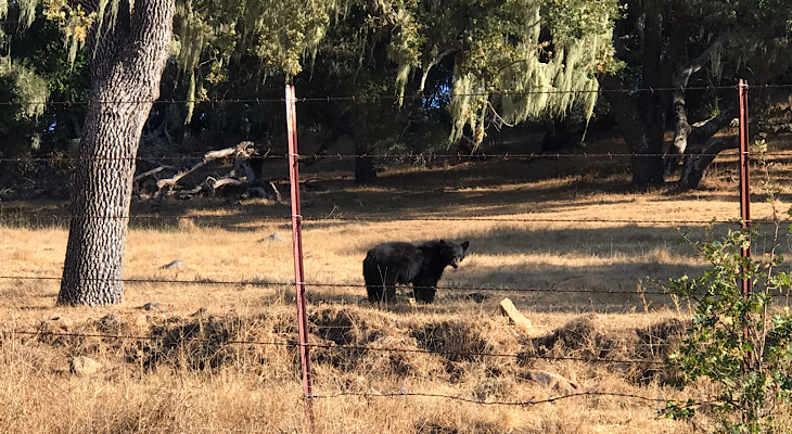 Black Bear in Solvang