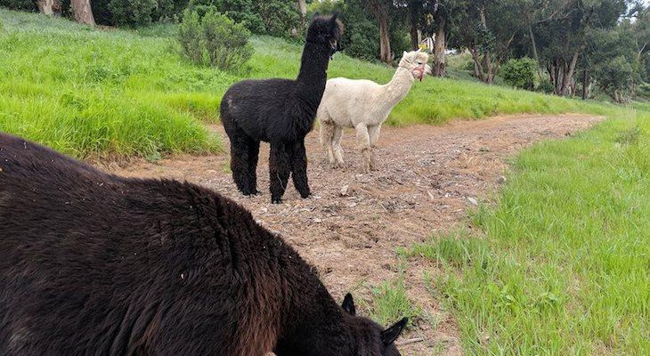Wandering Alpacas in Hope Ranch