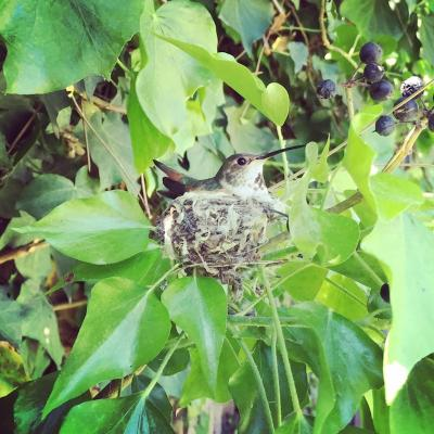 Hummingbird Nest to Egg
