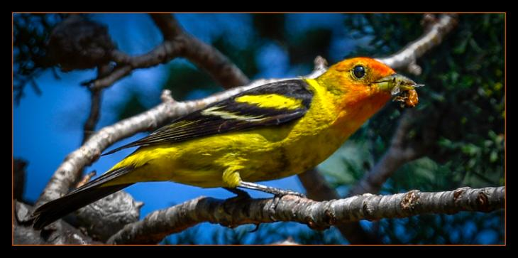 The Elusive Western Tanager