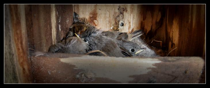 Titmouse Hatchlings Update