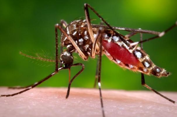 A female Aedes aegypti mosquito taking a blood meal. title=