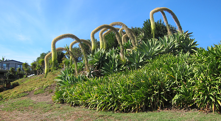 February Agave Flower Stalks title=