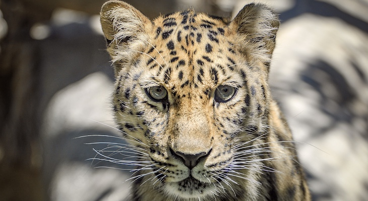 Santa Barbara Zoo's Amur Leopard is Pregnant title=