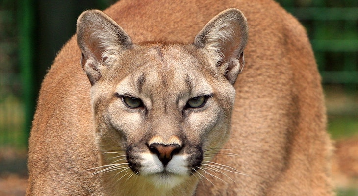Fourth Mountain Lion Sighting at UCSB title=