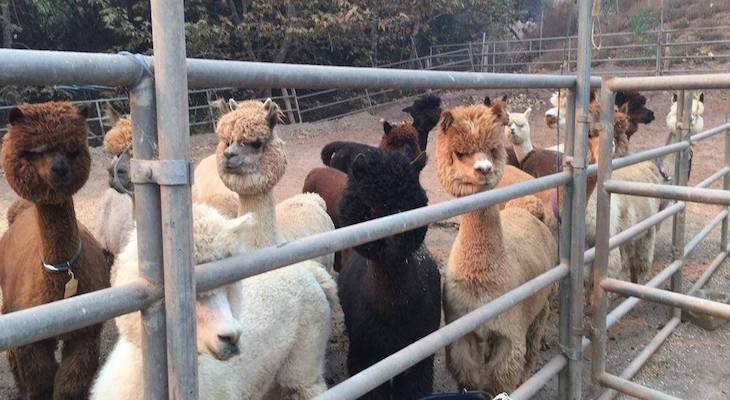 Animals Sheltered During the Thomas Fire