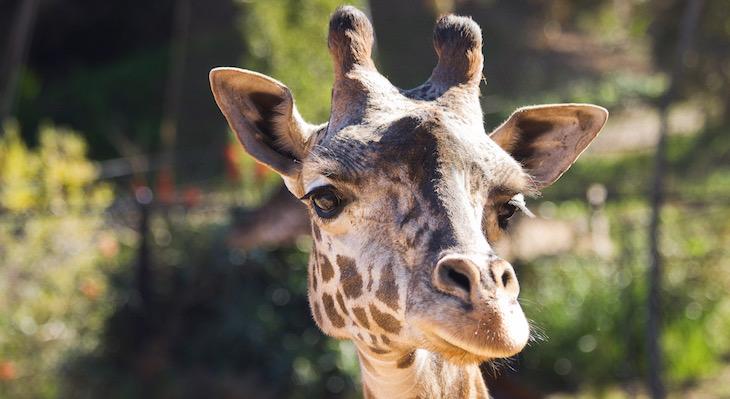 Santa Barbara Zoo Mourns Loss of Newborn Giraffe Calf title=