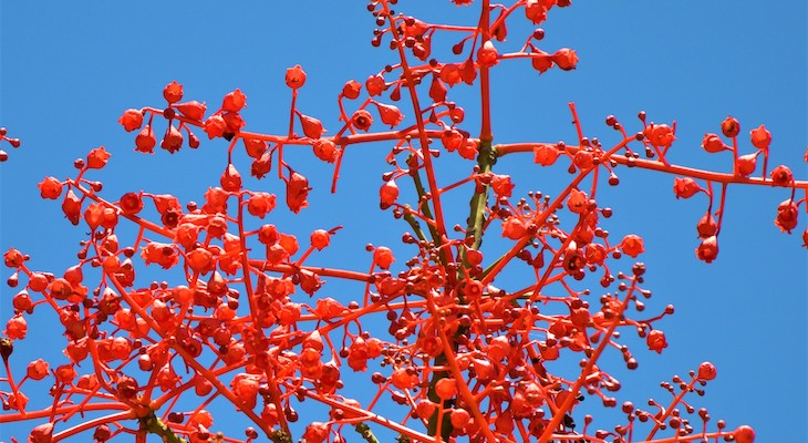 October Tree of the Month: Australian Flame Tree