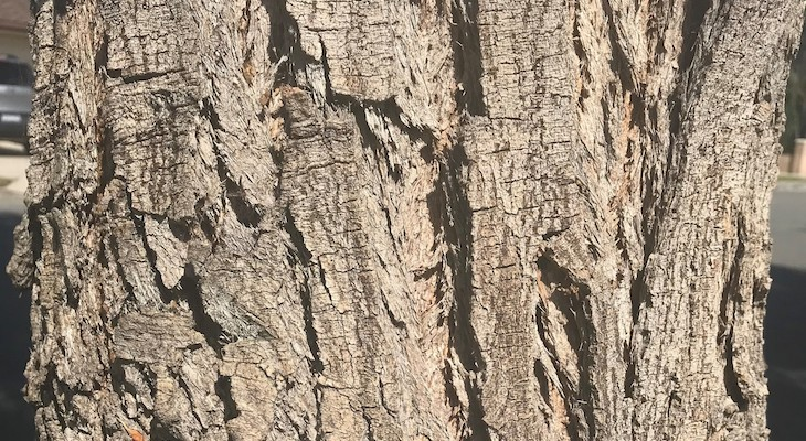 October Tree of the Month: Australian Willow title=