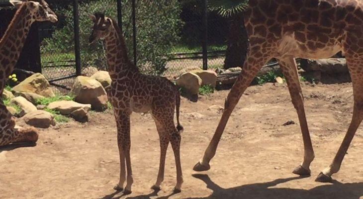 Baby Giraffe Debut