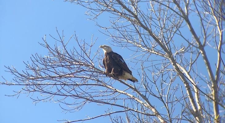 Bald Eagle spotted in Los Olivos