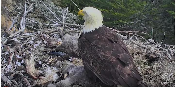 Earthquake Scares Bald Eagle