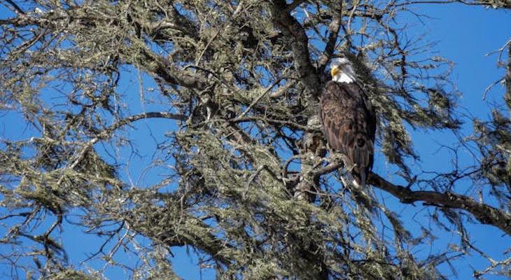 Bald Eagles at Cachuma Lake title=