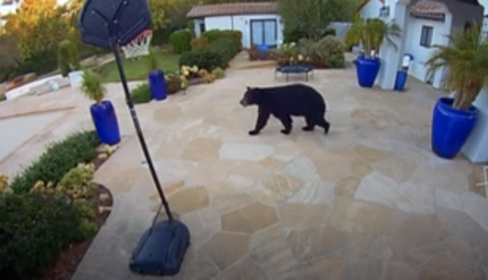 Bear Sightings in Montecito