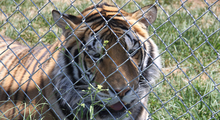 Bengal Tiger Seized in Ventura County