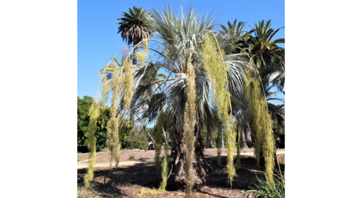May Tree of the Month: Blue Hesper Palm