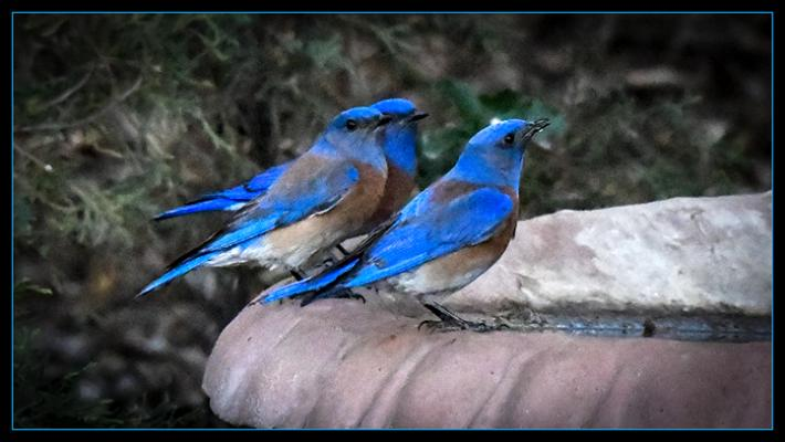 Bluebirds of Happiness title=