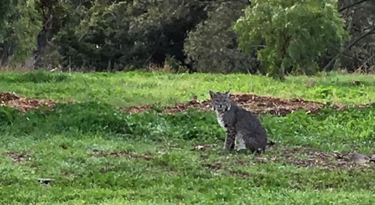 Bobcat on Jesusita Trail title=