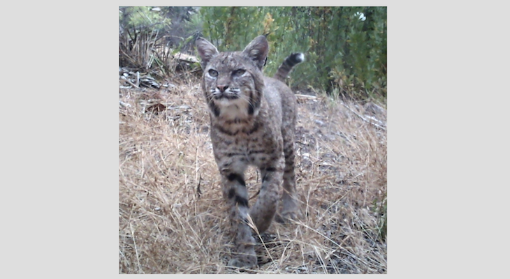 Bobcat at Hendry's title=