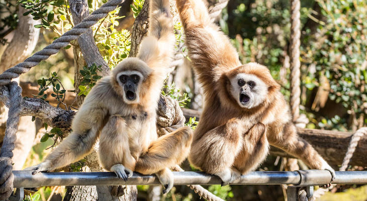 Santa Barbara Zoo Welcomes Bono the Gibbon